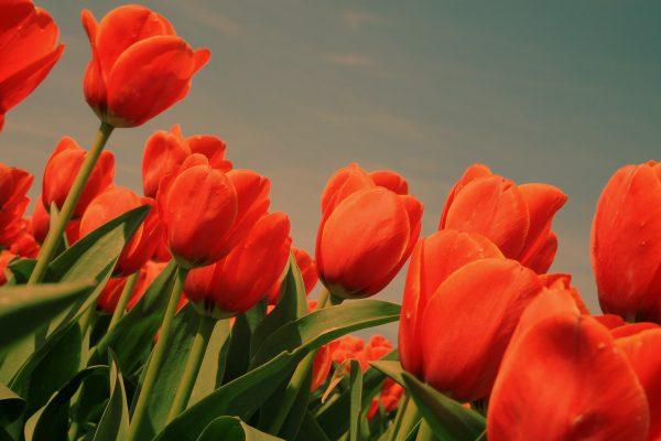 banner-groot_tulpen-rood2